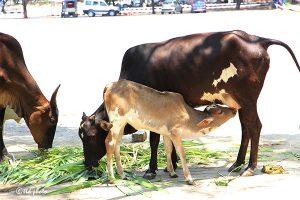Cow Feed Grass Sri Venkateswara Dairy Farm 11