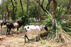 Cow Feed Grass Sri Venkateswara Dairy Farm 12