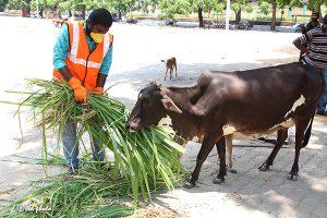 Cow Feed Grass Sri Venkateswara Dairy Farm 13