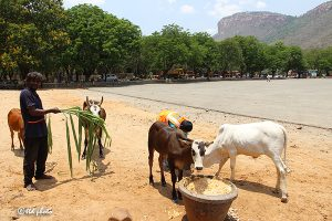 Cow Feed Grass Sri Venkateswara Dairy Farm 14