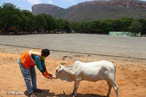 Cow Feed Grass Sri Venkateswara Dairy Farm 15
