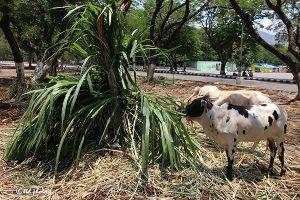 Cow Feed Grass Sri Venkateswara Dairy Farm 18
