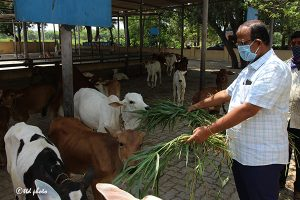 Cow Feed Grass Sri Venkateswara Dairy Farm