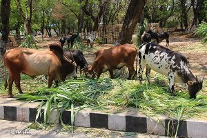 Cow Feed Grass Sri Venkateswara Dairy Farm 9