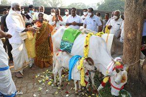 TTD CHAIRMAN DONATES 32 PAIRS OF COW AND CALF TO GUDIKO-GOMATA SCHEME2