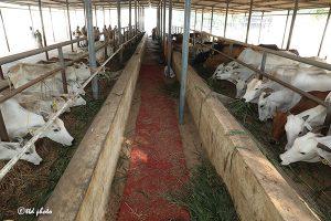 TTD CHAIRMAN DONATES 32 PAIRS OF COW AND CALF TO GUDIKO-GOMATA SCHEME5
